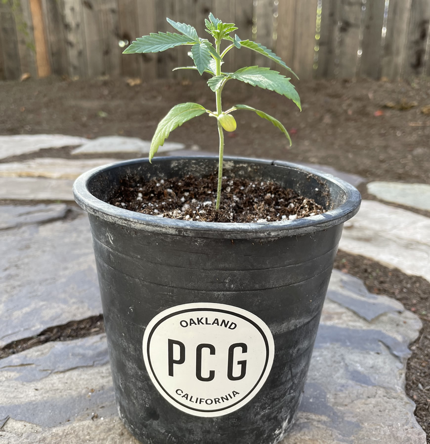 Exclusive Seedlings Now at The Artist Tree from Purple City Genetics